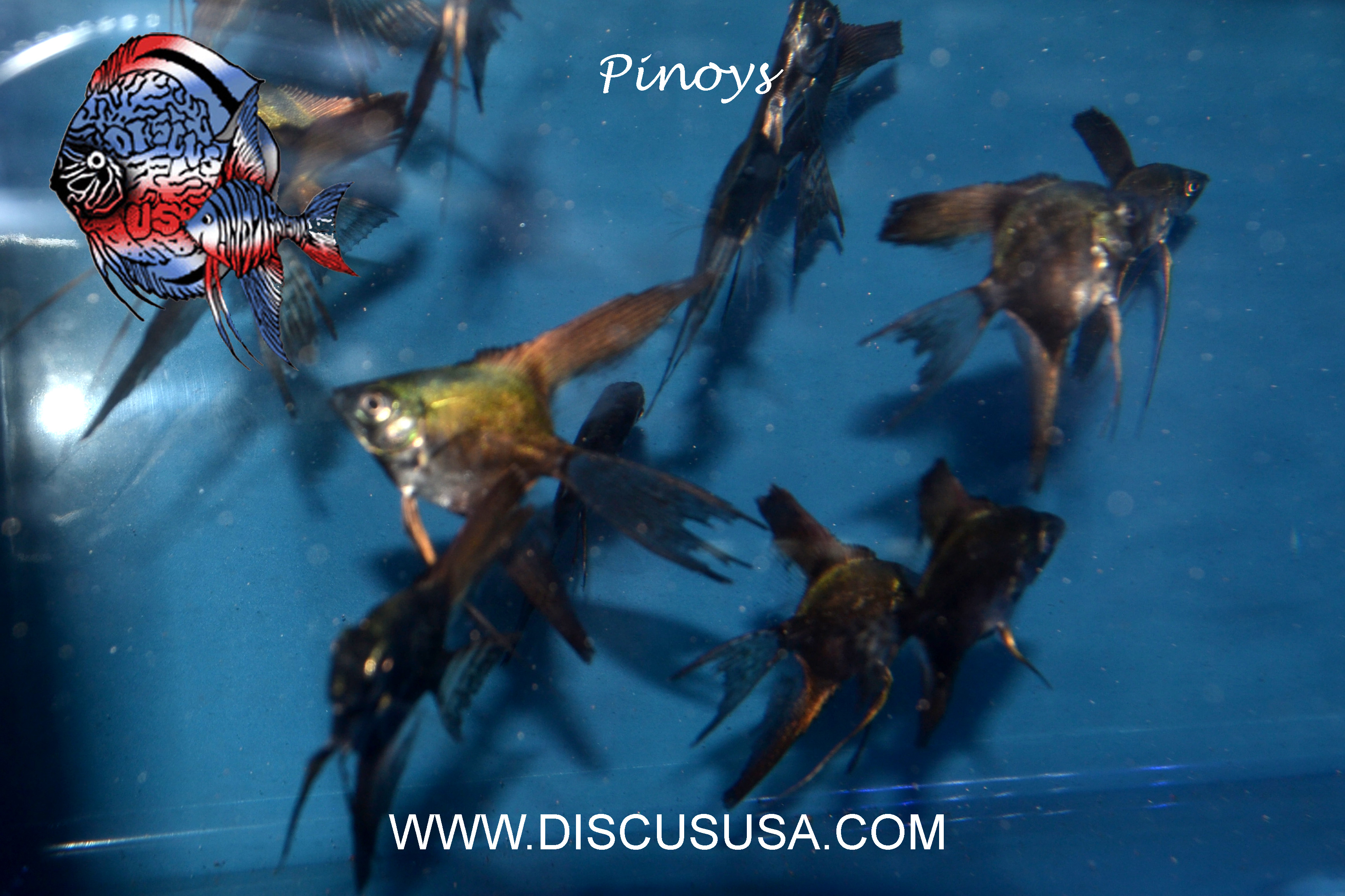Pinoy Angelfish - Med.(Quarter size) PACK OF 6